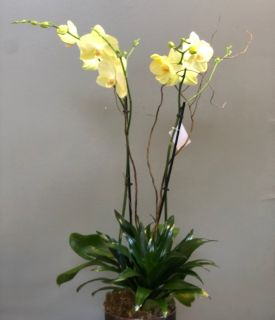 Soft Yellow Orchid
