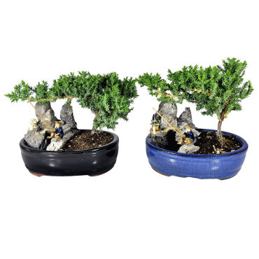 Medium Bonsai with Pond Planter