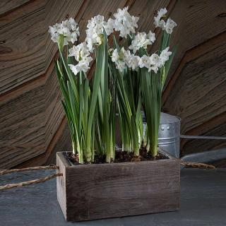 Paper Whites in a Box