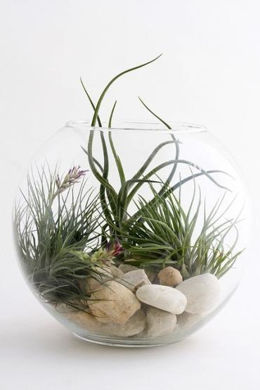 Air Plant Bubble Bowl
