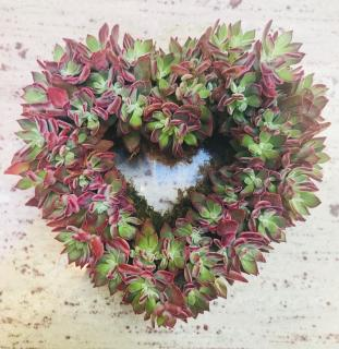 Sweetheart Succulent