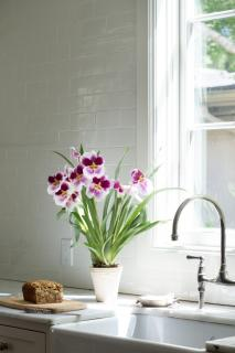 Pansy Orchid Plant